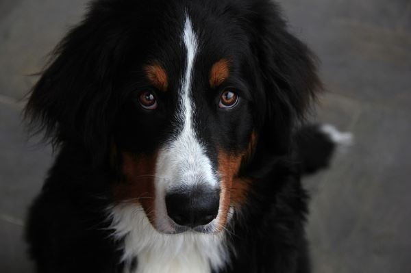 Romance audiobooks for dog owners: Bernese Mountain Dog