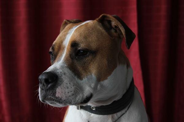 Romance audiobooks for dog owners: Pitbull