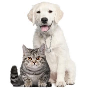 Golden Retriever and a grey cat