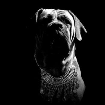 Black and White photo of a Mastiff wearing a silver chain