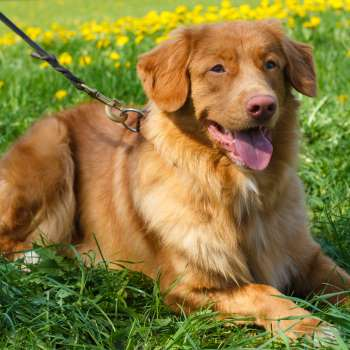 Duck Tolling Retriever - the dog in The Happy Ever After Playlist by Abby Jimenez, Romance books with Animals